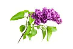 在白色背景隔绝的紫色丁香 图库摄影