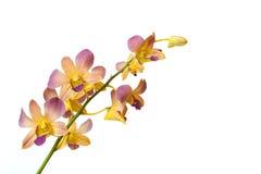 在白色背景隔绝的黄色兰花 免版税库存照片