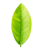 在白色背景隔绝的绿色叶子柠檬 免版税图库摄影