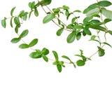 在白色背景隔绝的绿色叶子藤链子,截去 库存图片