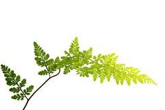 在白色背景隔绝的绿色叶子 免版税库存图片