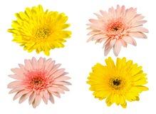 在白色背景隔绝的黄色和桃红色大丁草绽放花 免版税库存照片