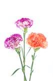 在白色背景隔绝的紫色和橙色康乃馨花 库存图片