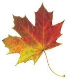 在白色背景隔绝的黄色和红色秋天枫叶 库存图片