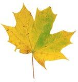 在白色背景隔绝的黄色和绿色秋天枫叶 库存图片