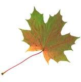 在白色背景隔绝的黄色和绿色秋天枫叶 图库摄影