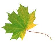 在白色背景隔绝的绿色和黄色秋天枫叶 库存图片