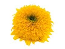 在白色背景隔绝的黄色大丁草花 免版税库存照片