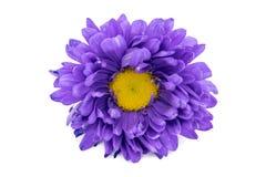 在白色背景隔绝的紫色大丁草花 库存照片