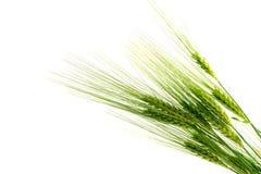在白色背景隔绝的绿色大麦耳朵 库存照片