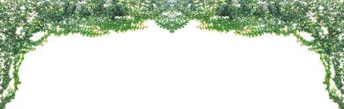 在白色背景隔绝的绿色常春藤 免版税库存照片