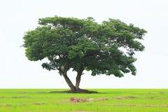 在白色背景隔绝的绿色树,在纯净的白色背景隔绝的美丽的新鲜的绿色落叶树 库存图片