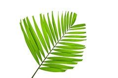 在白色背景隔绝的绿色棕榈叶,裁减路线  免版税库存照片