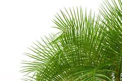 在白色背景隔绝的绿色棕榈叶,裁减路线  库存图片