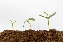 在白色背景隔绝的年轻绿色植物 免版税库存照片