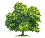 在白色背景隔绝的绿色槭树 库存照片