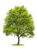 在白色背景隔绝的绿色橡树 自然对象