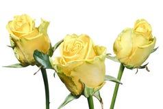 在白色背景隔绝的黄色玫瑰花束  免版税图库摄影