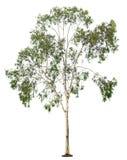 在白色背景的树 免版税图库摄影