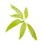 在白色背景隔绝的绿色芒果叶子 库存照片