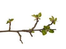在白色背景隔绝的绿色苹果枝杈 库存图片
