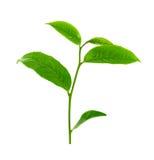 在白色背景隔绝的绿色茶叶 库存照片