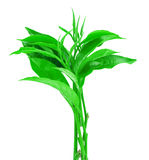 在白色背景隔绝的绿色茶叶 库存图片