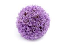在白色背景隔绝的紫色葱属花 免版税库存图片