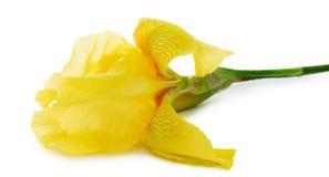 在白色背景隔绝的黄色虹膜 免版税库存图片