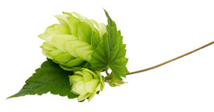 在白色背景隔绝的绿色蛇麻草 免版税库存照片
