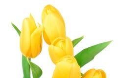 在白色背景隔绝的黄色郁金香春天花 免版税库存照片