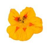 在白色背景隔绝的黄色金莲花 免版税图库摄影