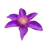 在白色背景隔绝的紫色铁线莲属花 库存图片