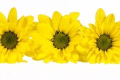 在白色背景隔绝的黄色延命菊花 免版税库存照片