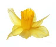 在白色隔绝的黄色水仙花 免版税库存图片