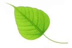 在白色背景隔绝的绿色bodhi叶子 免版税图库摄影