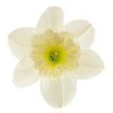 在白色背景隔绝的水仙花 库存图片