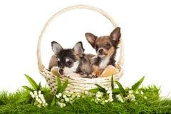 在白色背景隔绝的绿草的狗 免版税库存照片