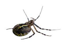 黄蜂在白色隔绝的蜘蛛转交 库存照片
