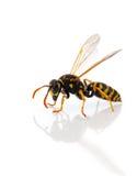 黄蜂 免版税图库摄影