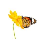 在白色背景隔绝的蝴蝶(共同的老虎)和花 免版税库存照片