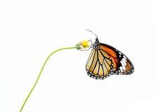 在白色背景隔绝的蝴蝶(共同的老虎)和花 库存照片