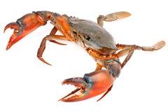 在白色背景隔绝的黑螃蟹 免版税库存照片