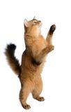 在白色背景隔绝的索马里猫 免版税库存图片