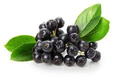 在白色背景隔绝的黑ashberry 免版税库存图片