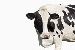 在白色背景隔绝的母牛 免版税库存图片