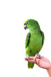 在白色背景隔绝的YELLOW-CROWNED亚马逊在手边鹦鹉 库存图片