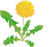 在白色背景,一棵医疗植物的蒲公英, 免版税库存图片