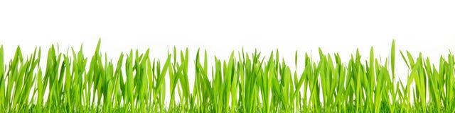 在白色背景,全景前面的新鲜的绿草刀片 库存图片