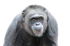 在白色背景,关闭的一个大猩猩 免版税库存图片